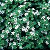 Bacopa 'Snowflake' | Pack of 5 Plug Plants