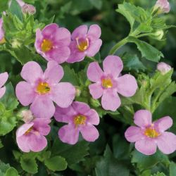 Bacopa Great 'Pink Beauty' | Pack of 5 Plug Plants
