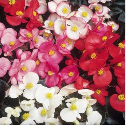Begonia 'Devils Delight' Collection | A Tray of 40 Cell Plug Plants