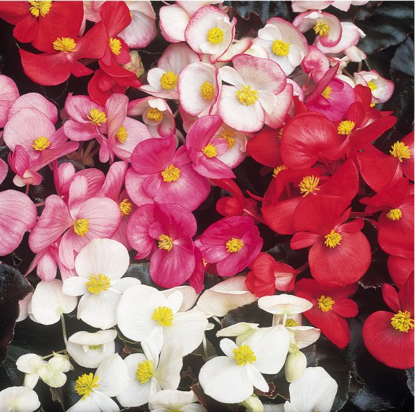 Begonia semp 'Devils Delight' Collection | A Tray of 40 Cell Plug Plants