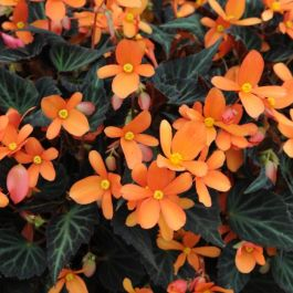 Begonia 'Glowing Embers' | Pack of 5 Premium Plug Plants