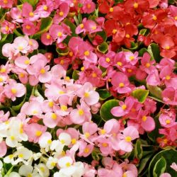 Begonia 'Heavens Delight' Collection | A Tray of 60 Cell Plug Plants
