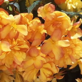 Begonia Illumination® 'Apricot Shades' | Pack of 5 Premium Plug Plants