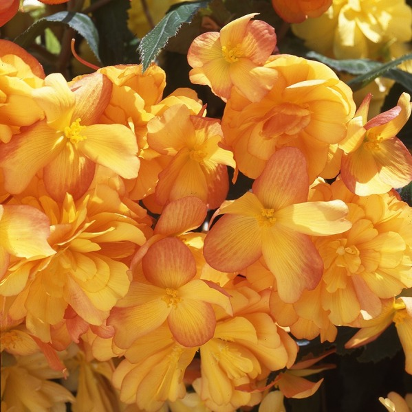 Begonia Illumination® 'Apricot Shades' | Pack of 5 Premium 7cm Plants