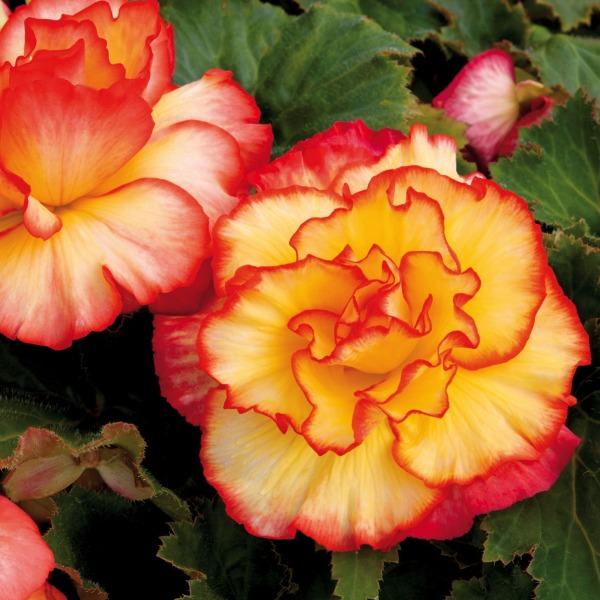 Begonia 'Majestic Sunburst' | Pack of 5 Premium Plug Plants