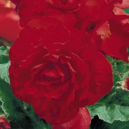 Begonia 'Nonstop Red'| Pack of 5 Premium Plug Plants