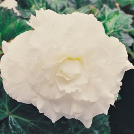 Begonia 'Nonstop White' | Pack of 5 Premium Plug Plants