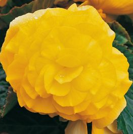 Begonia 'Nonstop Yellow' | Pack of 5 Premium Plug Plants