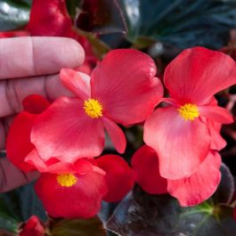 Begonia 'Whopper Bronze Leaf Red' | Pack of 15 Premium Plug Plants