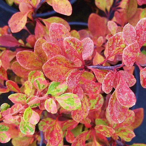 Berberis thunbergii 'Starburst' - 7.5L Pot