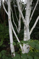 5ft Multi Stem Himalayan Birch Tree | 12L Pot | Betula utilis 'jacquemontii'