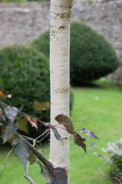 5ft Royal Frost®' Weeping Birch Tree | 12L Pot | Betula pendula 'Royal Frost®' | By Frank P Matthews™