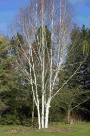 5ft Multi Stem 'Snow Queen' Himalayan Birch Tree | 12L Pot | Betula utilis var. jacquemontii 'Snow Queen' | By Frank P Matthews™
