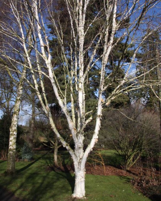 6ft 'Snow Queen' Himalayan Birch Tree | 12L Pot | Betula utilis var. jacquemontii 'Snow Queen' | By Frank P Matthews™