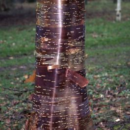 5ft Wakehurst Place Chocolate' Himalayan Birch Tree | 12L Pot | Betula uti 'Wakehurst Place Chocolate' | By Frank P Matthews™