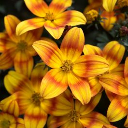 Bidens 'Bee Alive' | Pack of 15 Plug Plants