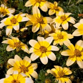 Bidens 'Golden Eye' | Pack of 5 Plug Plants