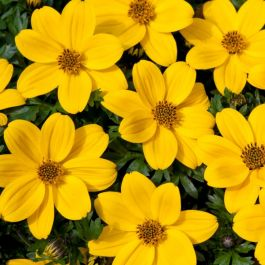 Bidens 'Golden Glory' | Pack of 5 Plug Plants