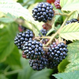 Merton Thornless' Blackberry Bush | Bare Root | By James McIntyre & Sons