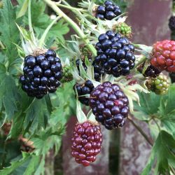 1ft 'Oregon Thornless' Blackberry Bush | 3L Pot | By James McIntyre & Sons