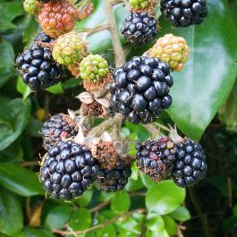 Bedford Giant' Blackberry Bush | Bare Root | By James McIntyre & Sons