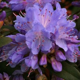 1ft Dwarf Rhododendron 'Blue Tit' | 3L Pot