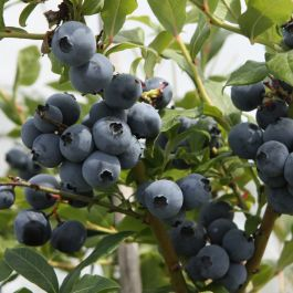 1ft 'Hortblue Petite' Blueberry Bush | 3L Pot | By James McIntyre & Sons