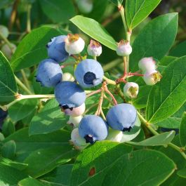 1ft 'Top Hat' Blueberry Bush | 3L Pot | By James McIntyre & Sons