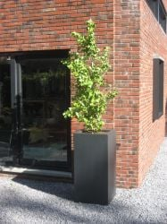 120cm Buxus Glossy Fibreglass Tall Planter In Black By Adezz