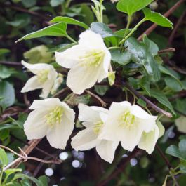 Clematis cirrhosa 'Jingle Bells' | 3L Pot