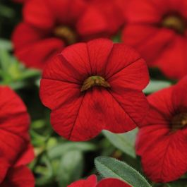 Calibrachoa 'Cabaret Red' | Pack of 5 Plug Plants