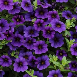 Calibrachoa 'Cabaret Deep Blue' | Pack of 5 Plug Plants