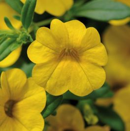 Calibrachoa 'Cabaret Yellow' | Pack of 5 Plug Plants