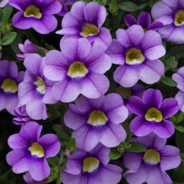 Calibrachoa 'Cabaret Sky Blue' | Pack of 5 Plug Plants