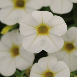 Calibrachoa 'Cabaret White' | Pack of 5 Plug Plants