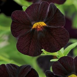 Calibrachoa 'Can-Can Black Cherry' | Pack of 5 Plug Plants