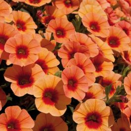 Calibrachoa 'Can-Can Coral Reef' | Pack of 5 X 7cm Plants