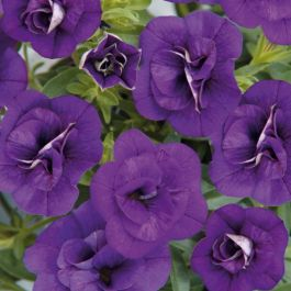 Calibrachoa 'Can-Can Double Blue' | Pack of 5 Plug Plants
