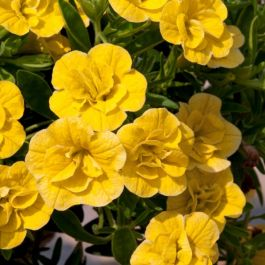 Calibrachoa 'Can-Can Double Dark Yellow' | Pack of 5 Plug Plants