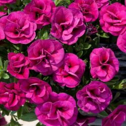Calibrachoa 'Can-Can Double Magenta' | Pack of 5 Plug Plants