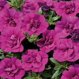 Calibrachoa 'Can Can Double Pink' | Pack of 5 X 7cm Plants