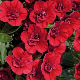 Calibrachoa 'Can-Can Double Red' | Pack of 5 Plug Plants