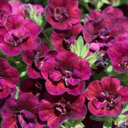 Calibrachoa 'Can Can Double Wine Red' | Pack of 15 Plug Plants