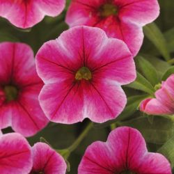 Calibrachoa 'Can-Can Hot Pink Star' | Pack of 5 Plug Plants