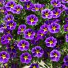 Calibrachoa 'Starlight Blue' | Pack of 5 Plug Plants