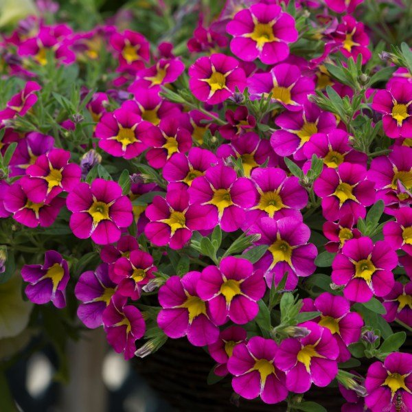 Calibrachoa 'Starlight Pink' | Pack of 5 Plug Plants