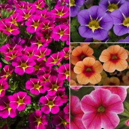 Speciality Calibrachoa Collection | 5 Plug Plants