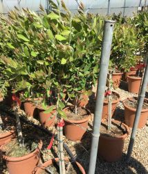 Callistemon laevis 9l Lollipop Pair