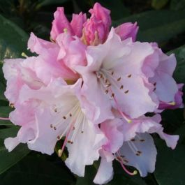 1ft Rhododendron 'Christmas Cheer' | 7.5L Pot | Compact Rhododendron