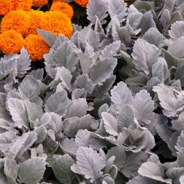 Cineraria 'Cirrus' | Pack of 15 Plug Plants